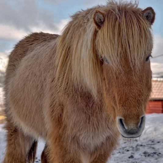 Foto: Thomas Hagfors, Riiby Gård Islandshästar