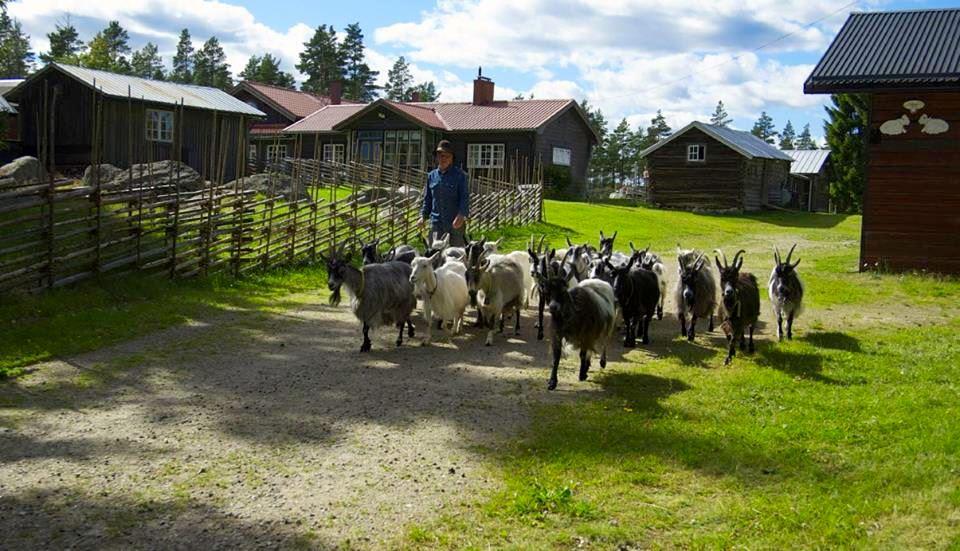 Bojäntans levande fäbod i Rengsjö