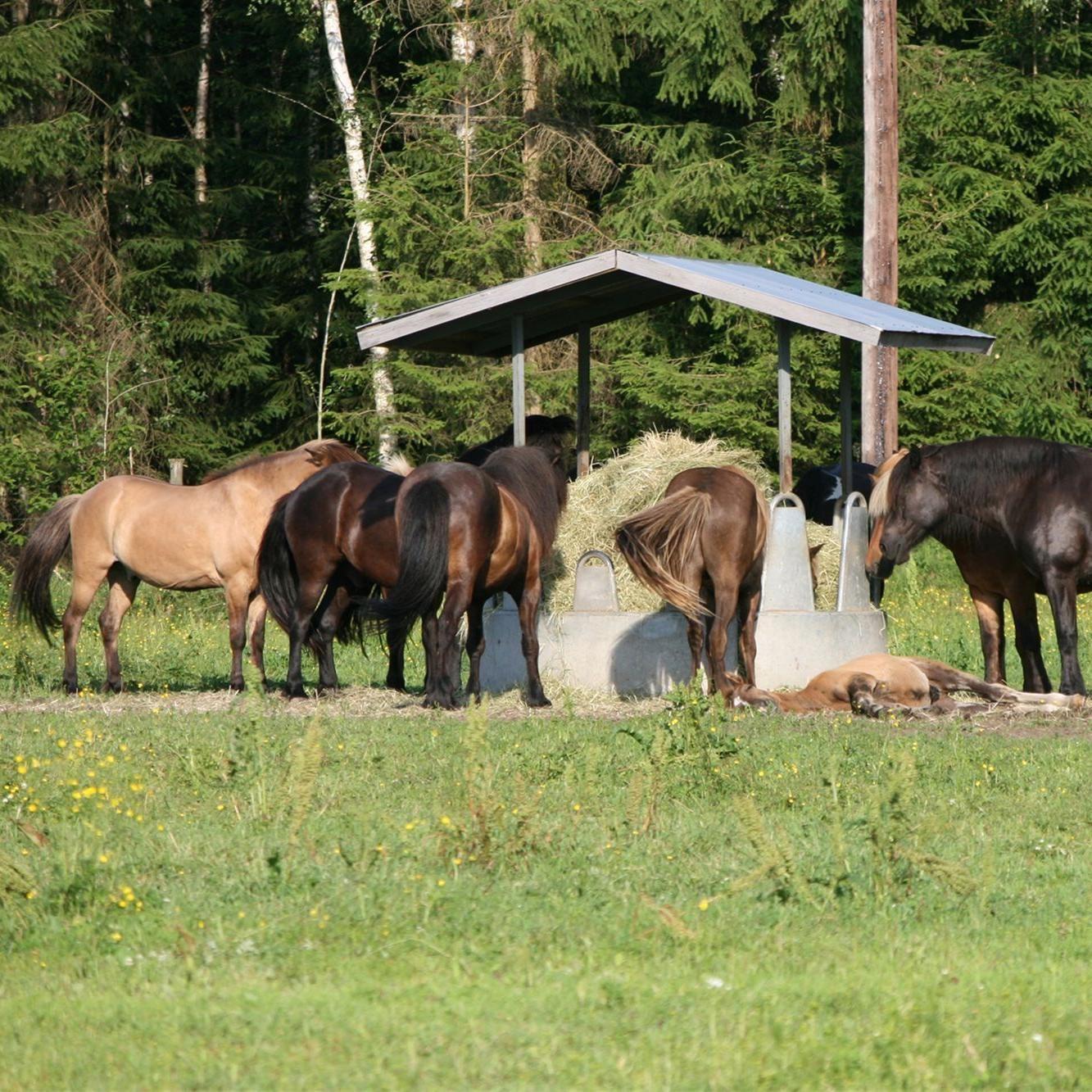 foto: Pia Wallner, Turridning på islandshästar i Ingevallsbo