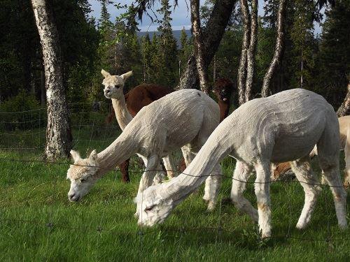 Grövelsjön Alpacka, Vandra med alpackor
