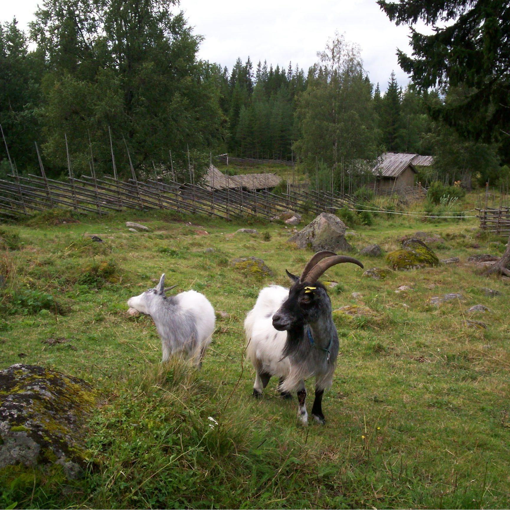 Getter på Ärteråsens Fäbodar, Furudal, Rättvik