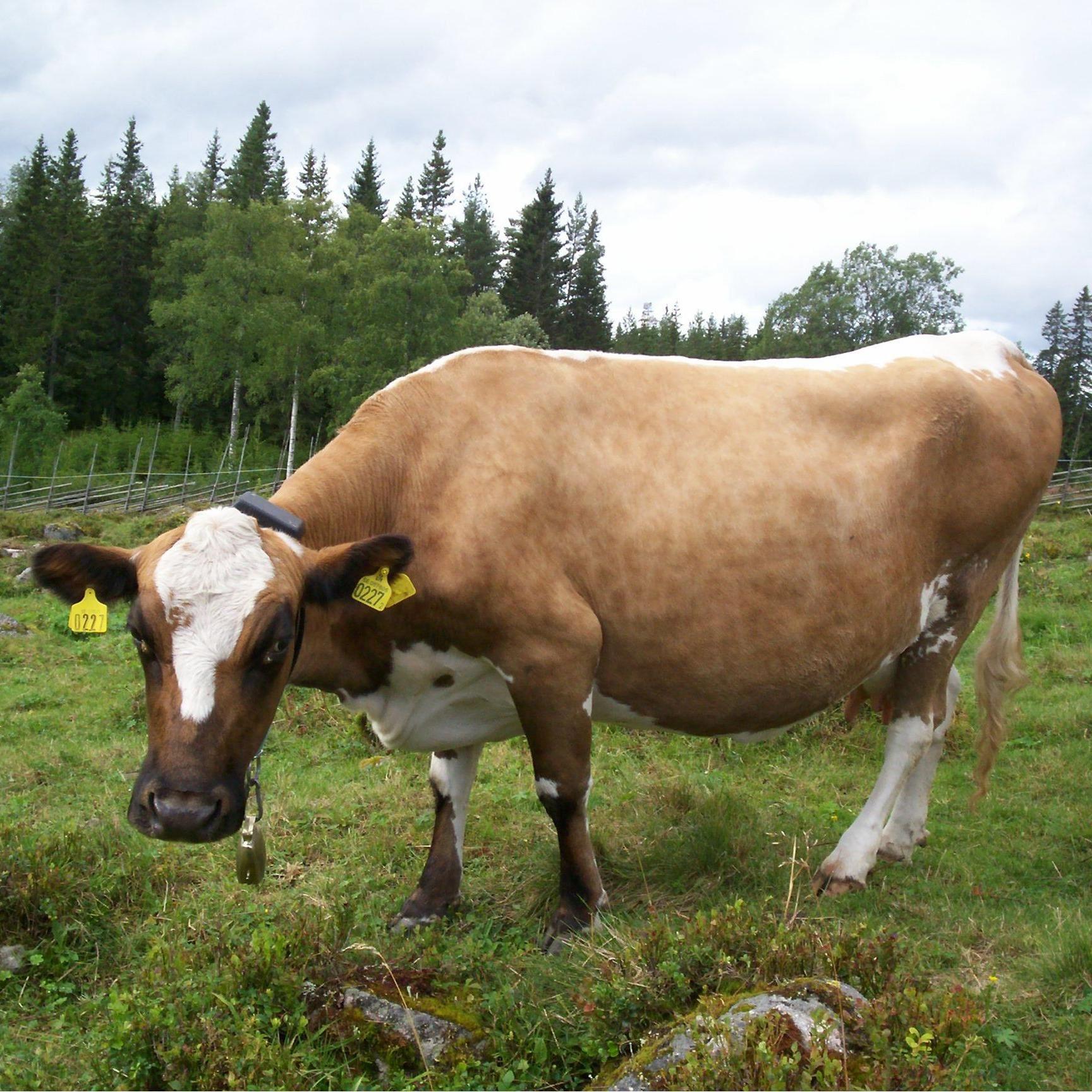 Ko på Ärteråsens Fäbodar, Furudal, Rättvik