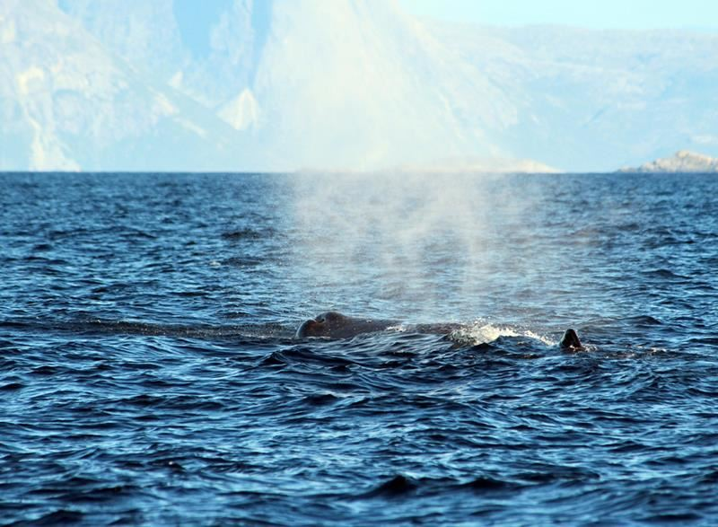 © Sea Safari Andenes, Walbeobachtung mit RIB - Sea Safari Andenes