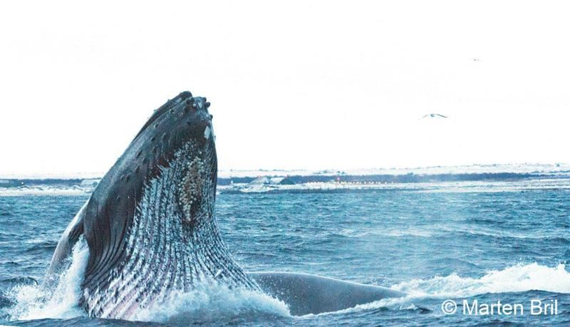 Hvalsafari vinter- Sea Safari Andenes