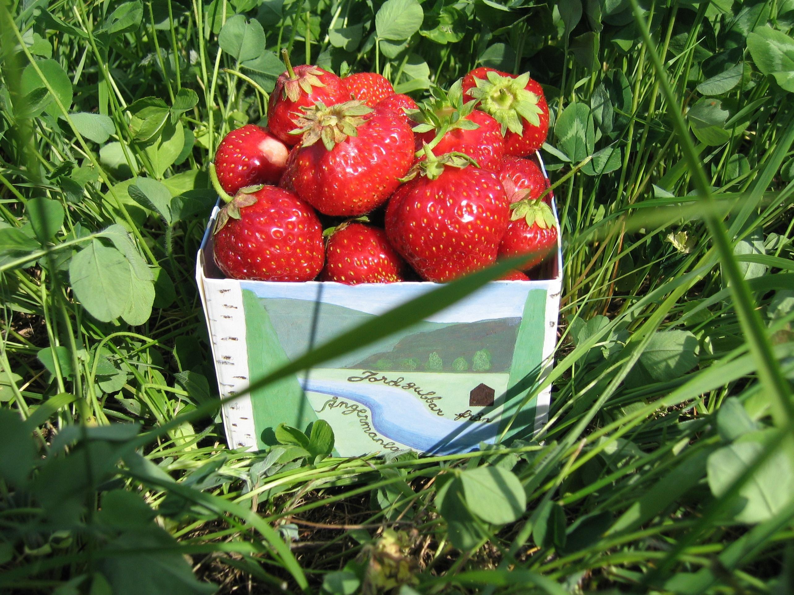 KRAV odlade jordgubbar. Smakar himmelskt och härligt att kunna bjuda på sommarens frukter utan kemiska tillsatser!