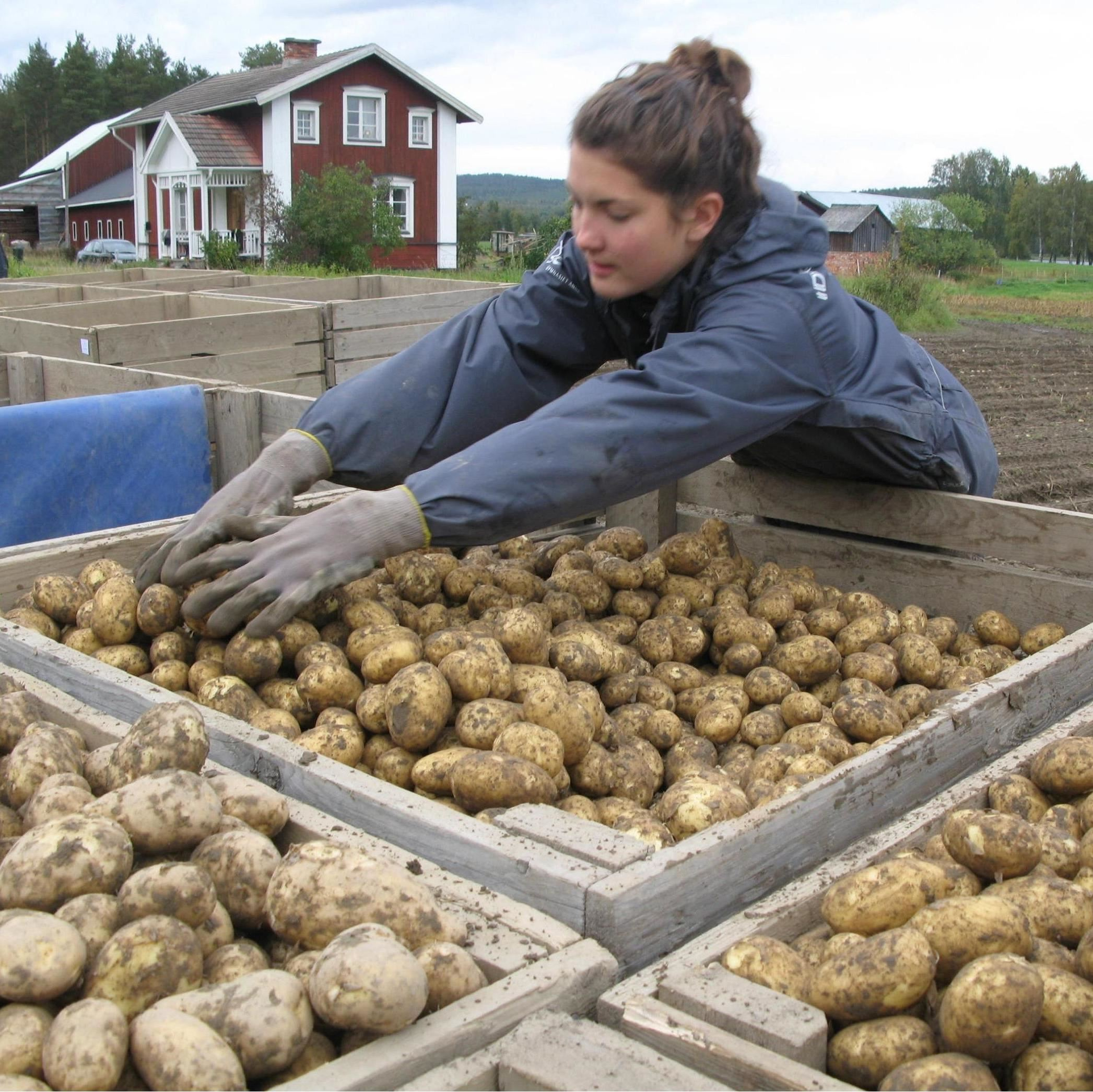 Foto: Mark Sadan, The potato cultivation in Skadon