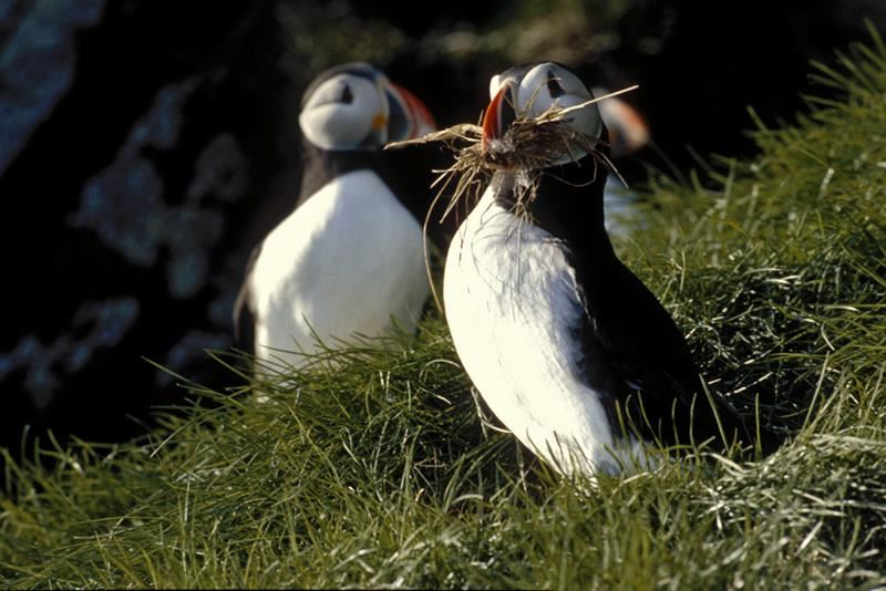 © Puffin safari, Puffin safari