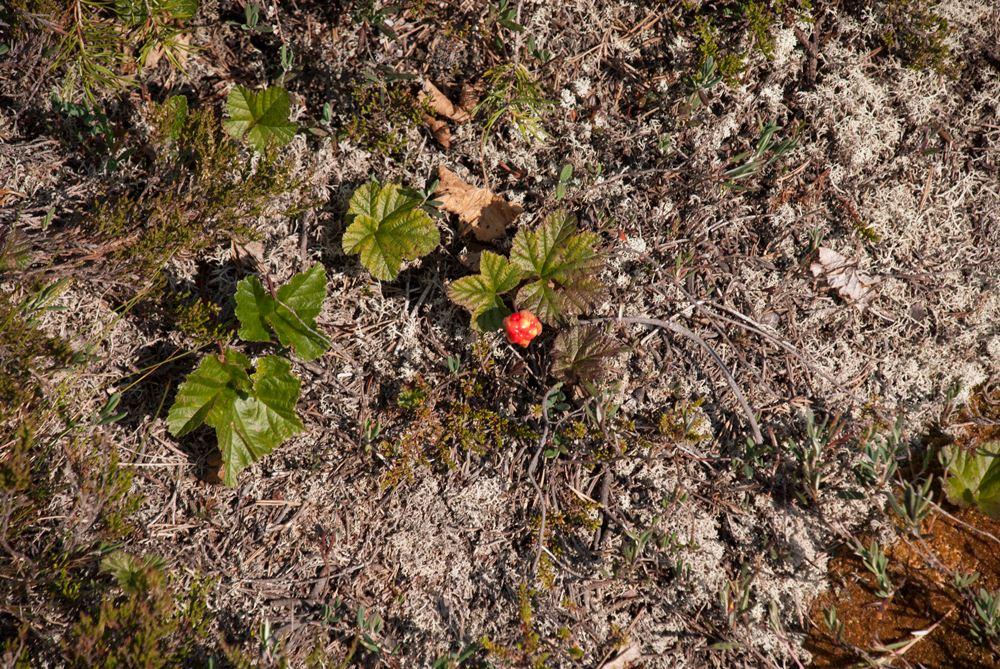 Elizabet Westerlund,  © Nordmalings kommun, Torsmyrans naturreservat