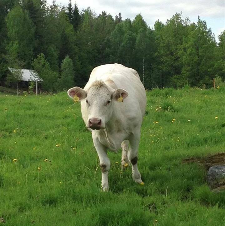 Beef from Hamra Håkansgård