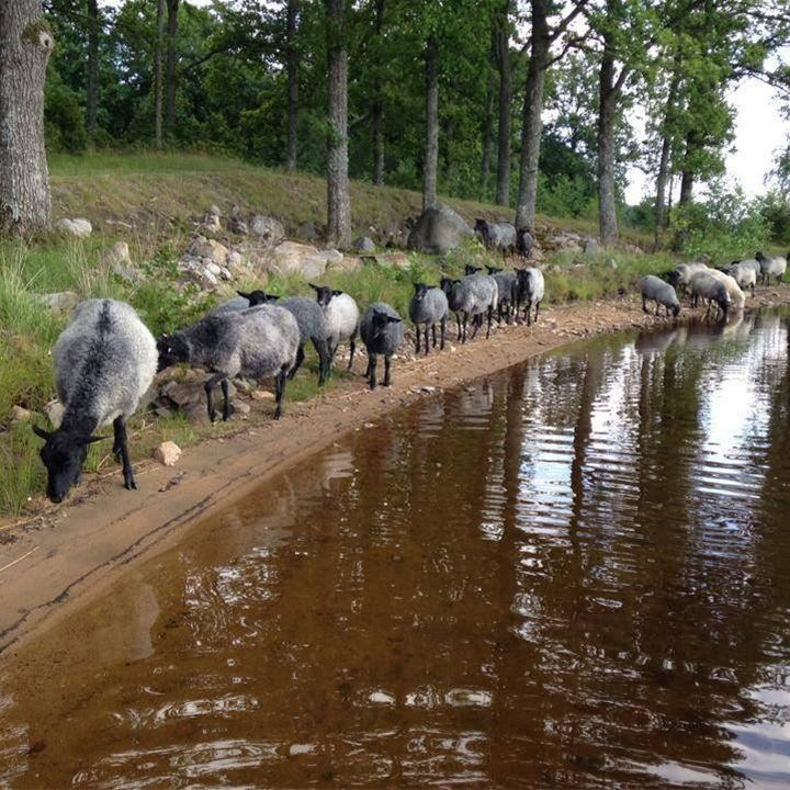 Vadets gård,  © Värnamo Näringsliv AB, Lamm på Vadets gård