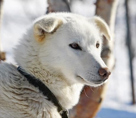 Kirkenes Snowhotel Husky Safari 4 Hours