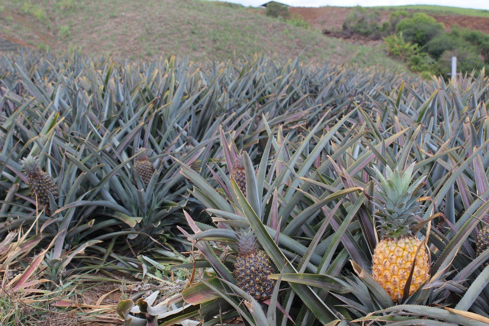 Maison de l'ananas