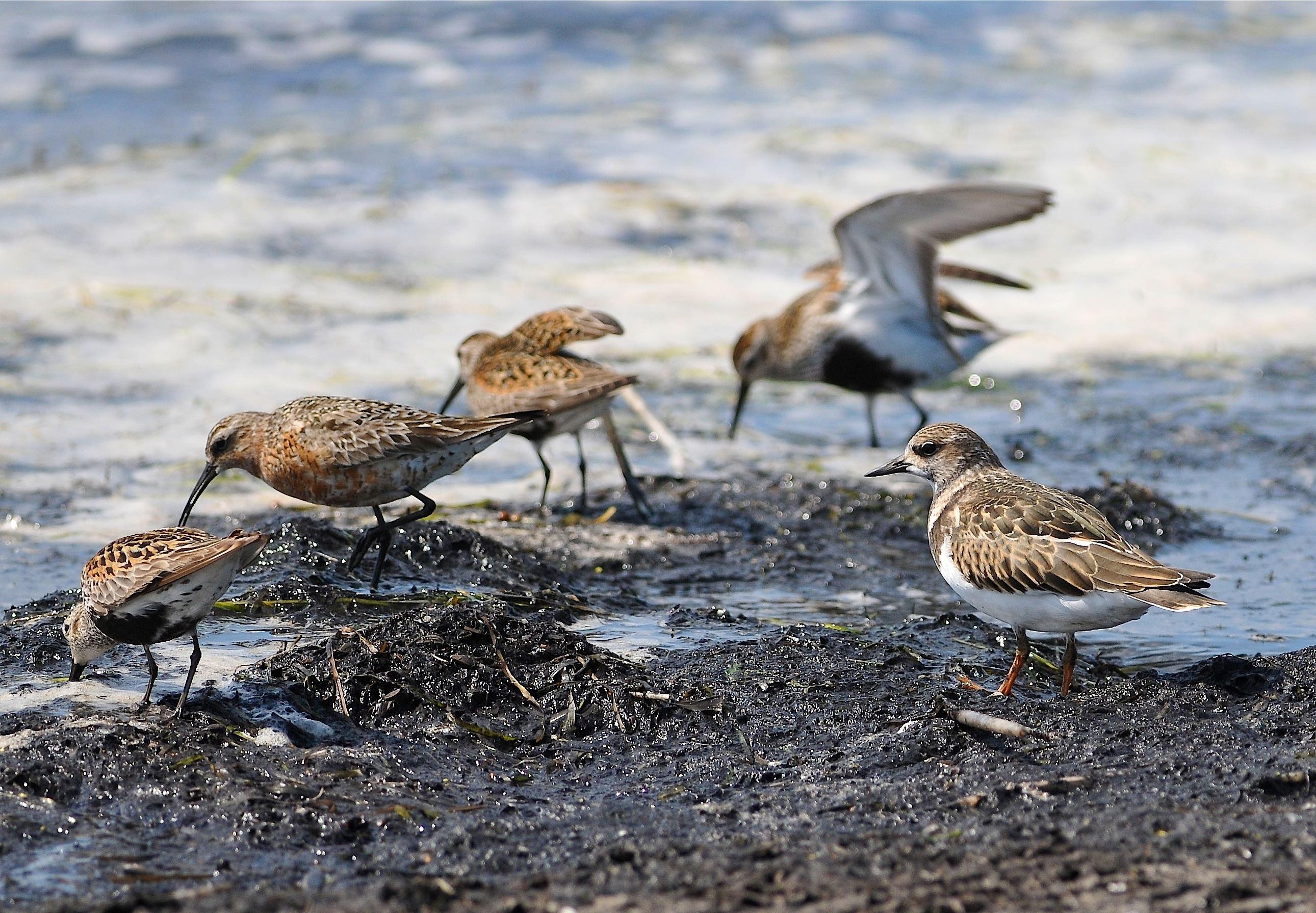 Fågelvandring Kustfåglar