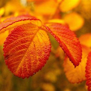 Blumblaum,  © Blumblaum, Tingsryds Herbstfest