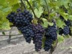Österlenvin - Ekesåkra vingård