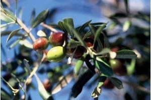 Baux de Provence, Olive et Vin