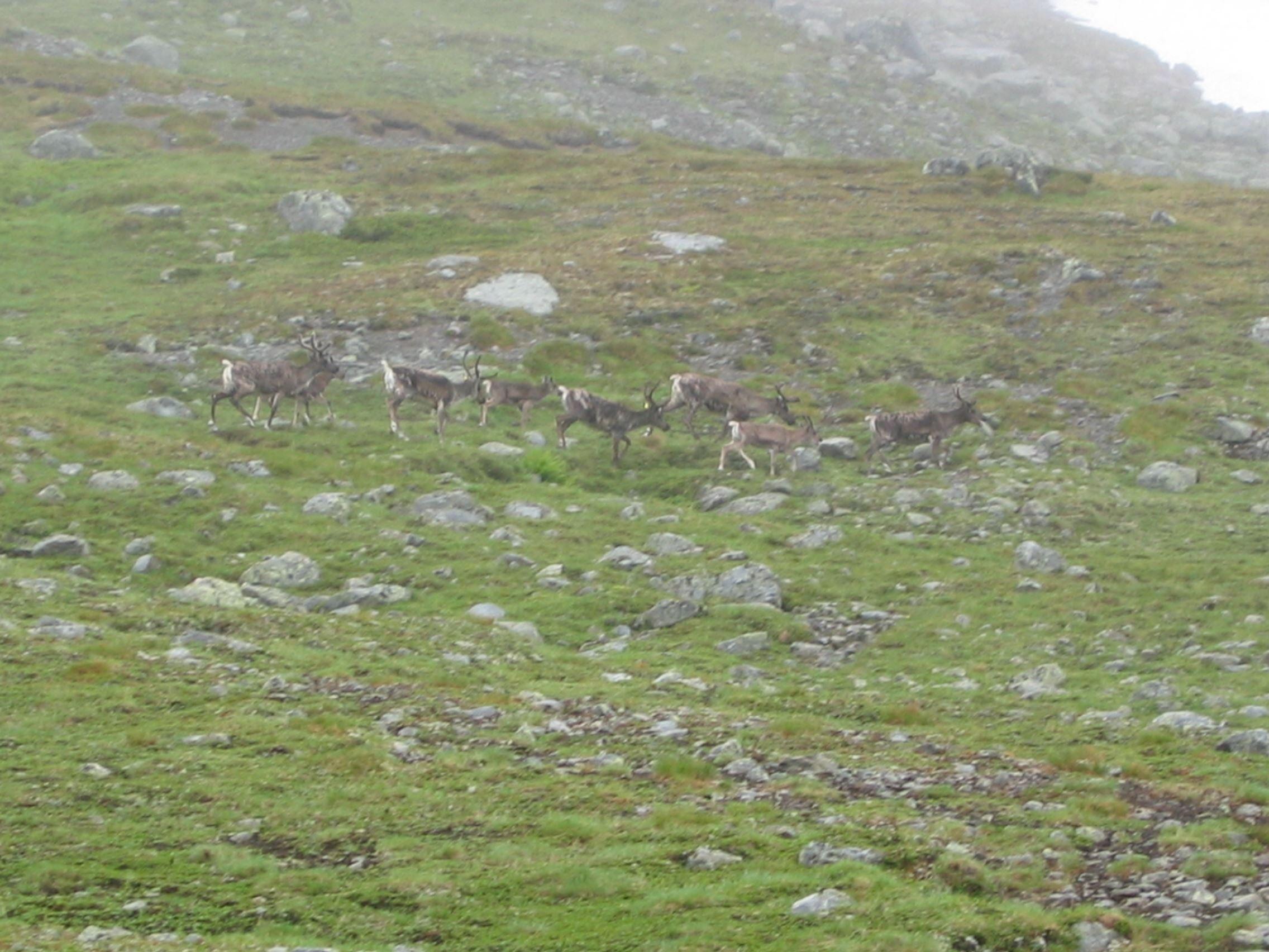 The sami reindeer migration
