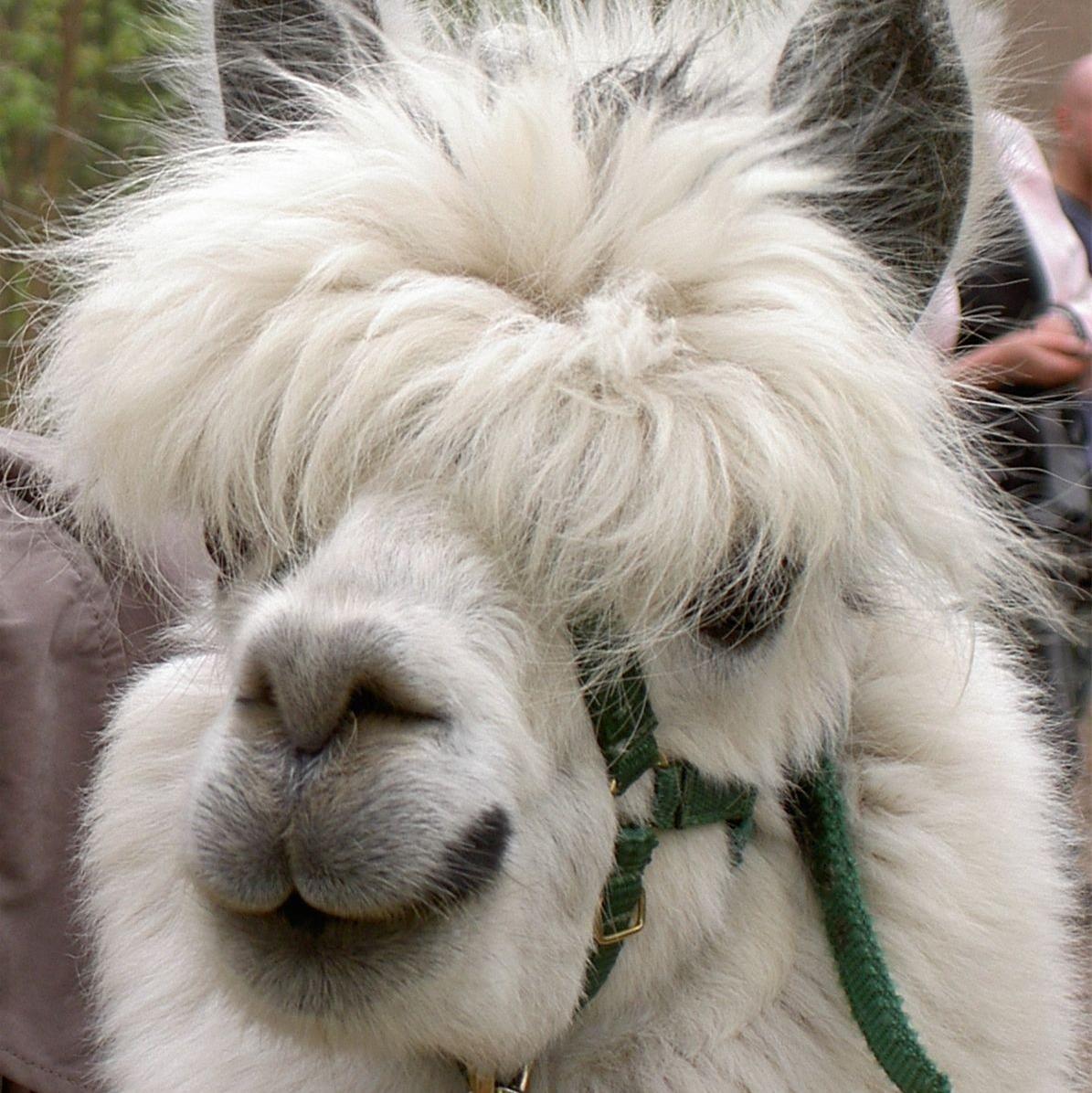 Hven alpaca