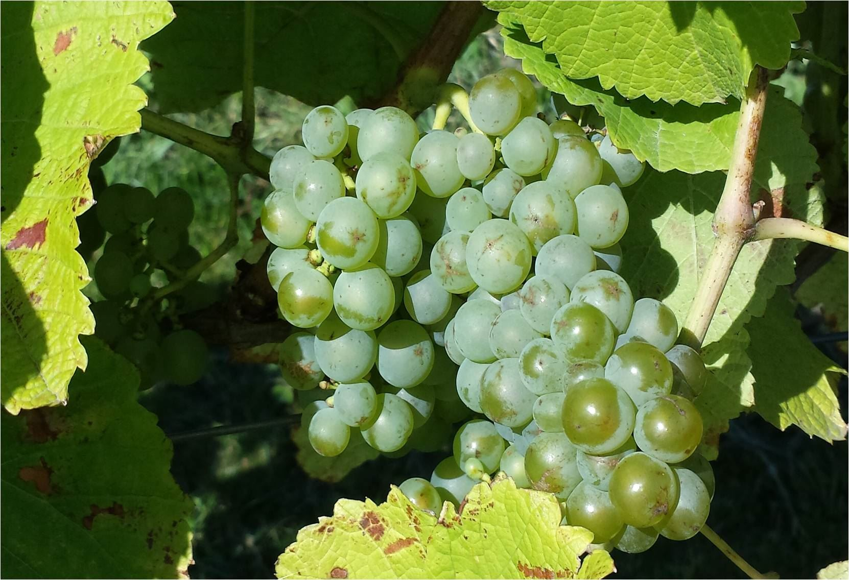 Södåkra vingård