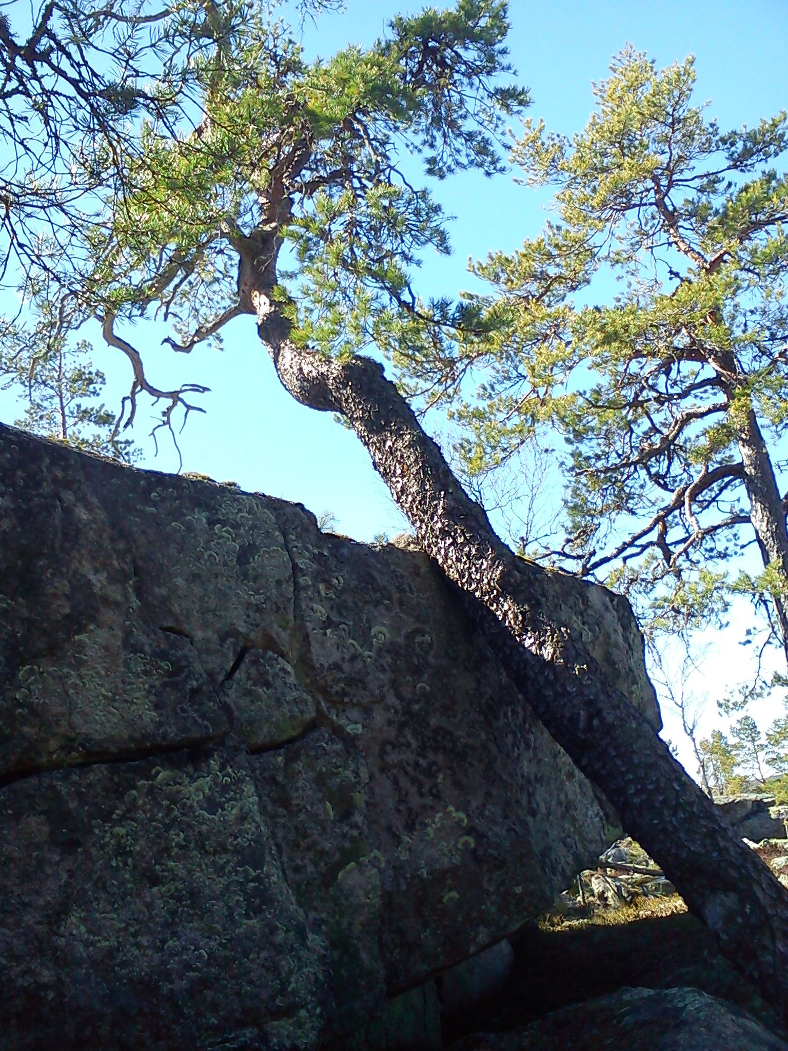 27th of May Hikingtour looking at the oldest pine in Sweden