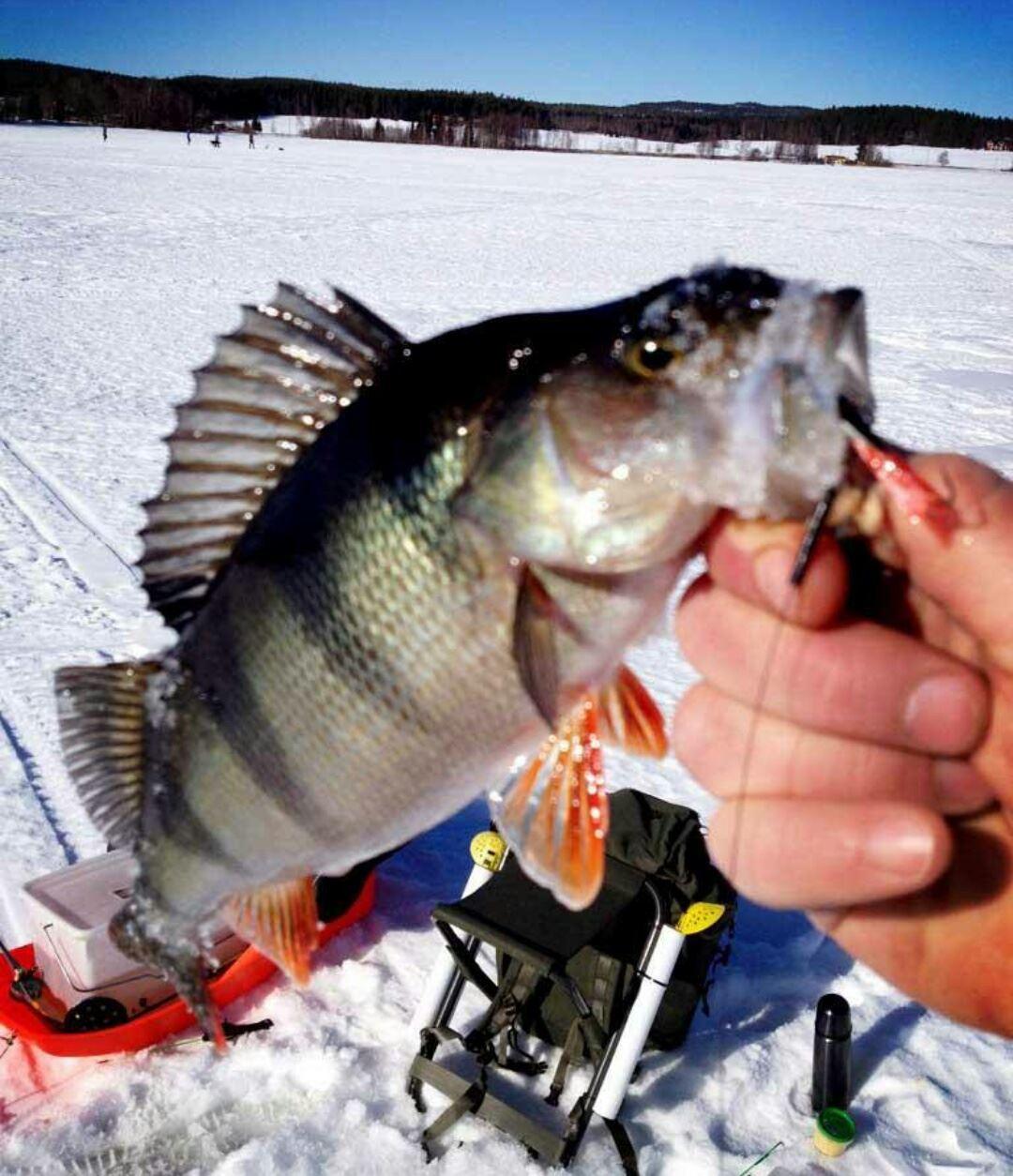 Fiska på vårisen