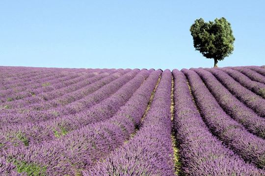 Journey to Sault for the last chance lavender fields