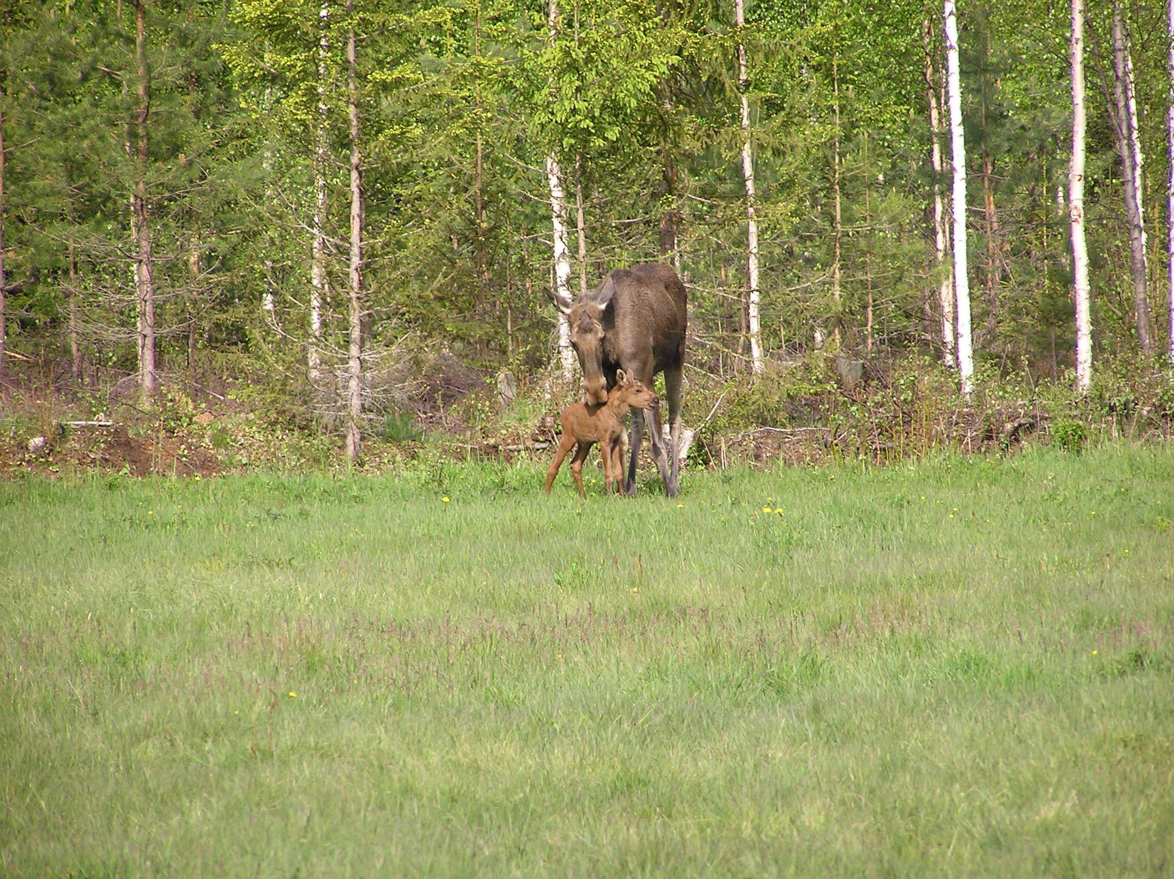 Moose park in Ockelbo