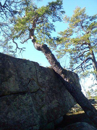 Vandring till Sveriges äldsta tall