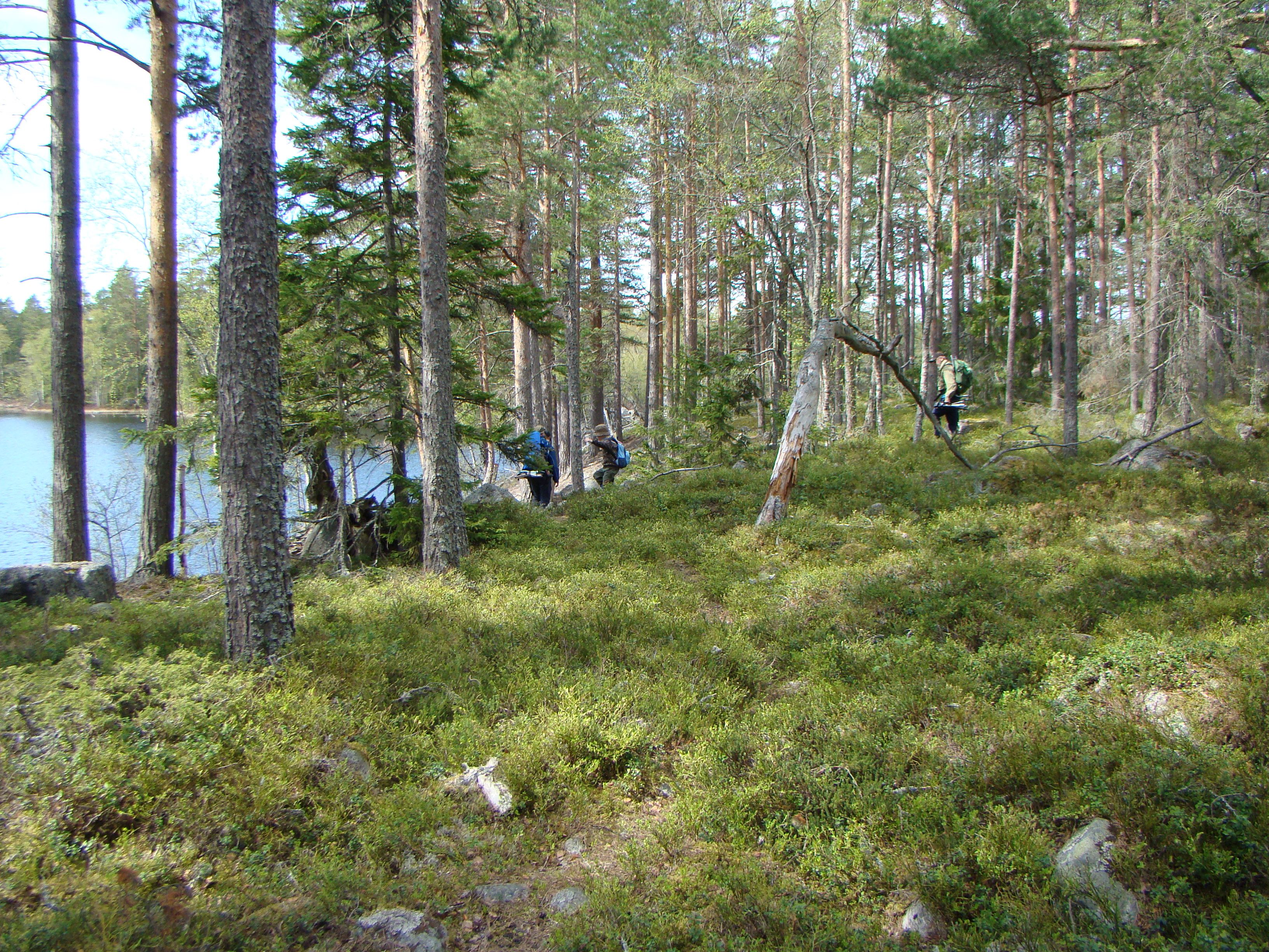 Hiking tour looking at the oldest pine in Sweden