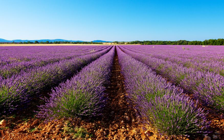 Market and Lavender Ocean
