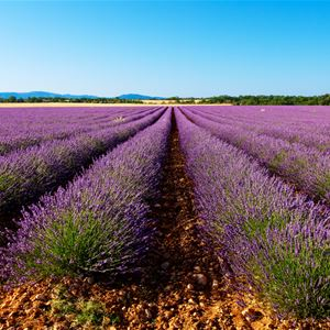 Lavender Ocean in Valensole