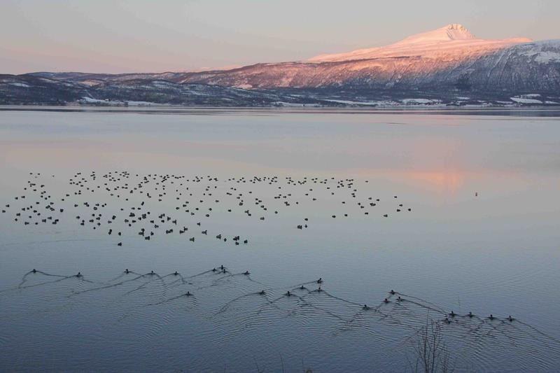 © Balsfjord kommune, Fuglekikking i Balsfjord
