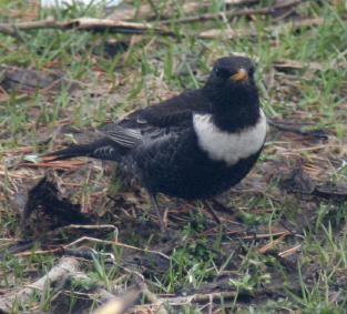 Fuglekikking - Fjellkysten