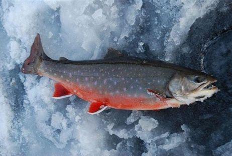 Abborrträsk Natursafari - Isfiske efter stridbar storrödingsfiske
