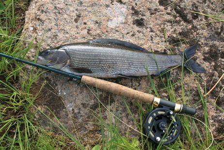 Fishing Grayling in Bergträsket