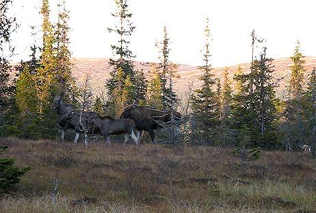 Elk hunting in Orsa Finnmark