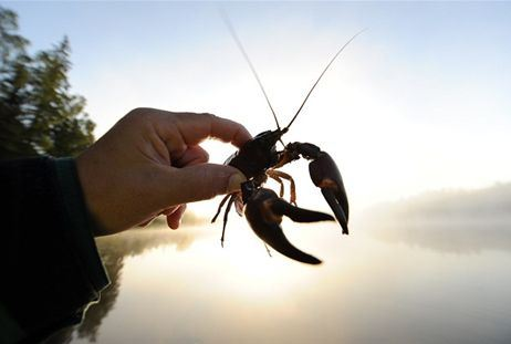 Crayfish of Vättern