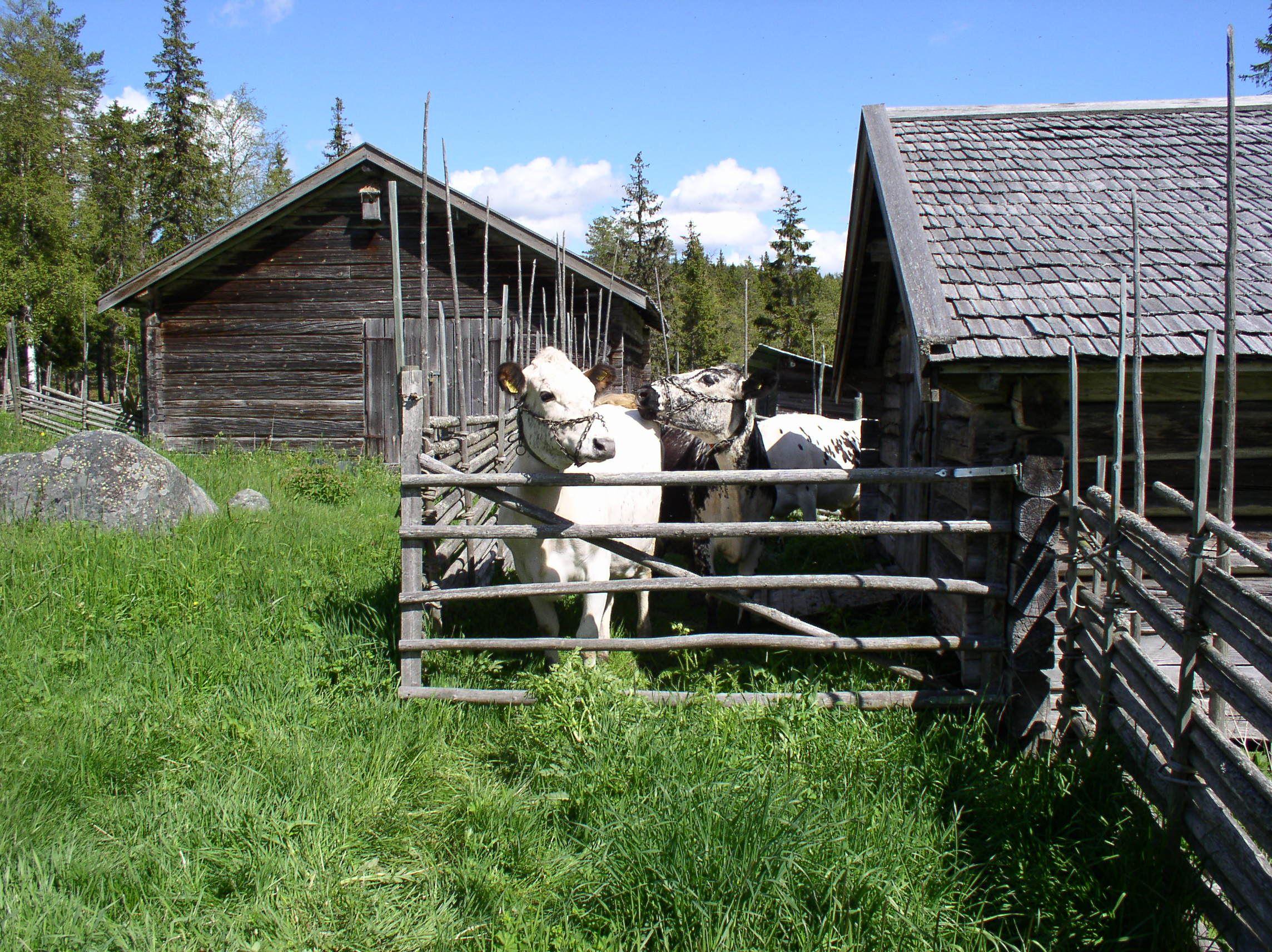 Prova på att vara fäbodbrukare för en dag på Svedbovallen i Järvsö
