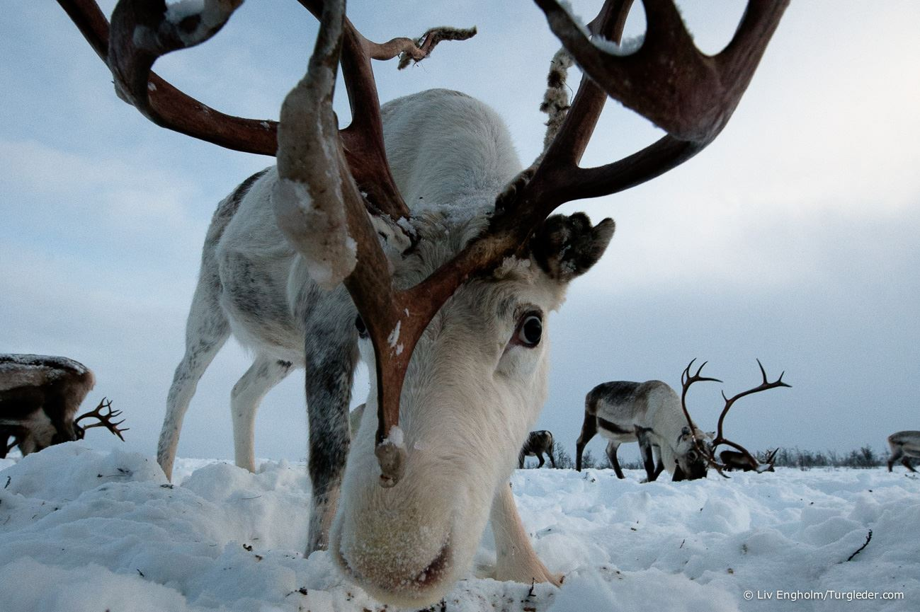 Reindeer herder experience