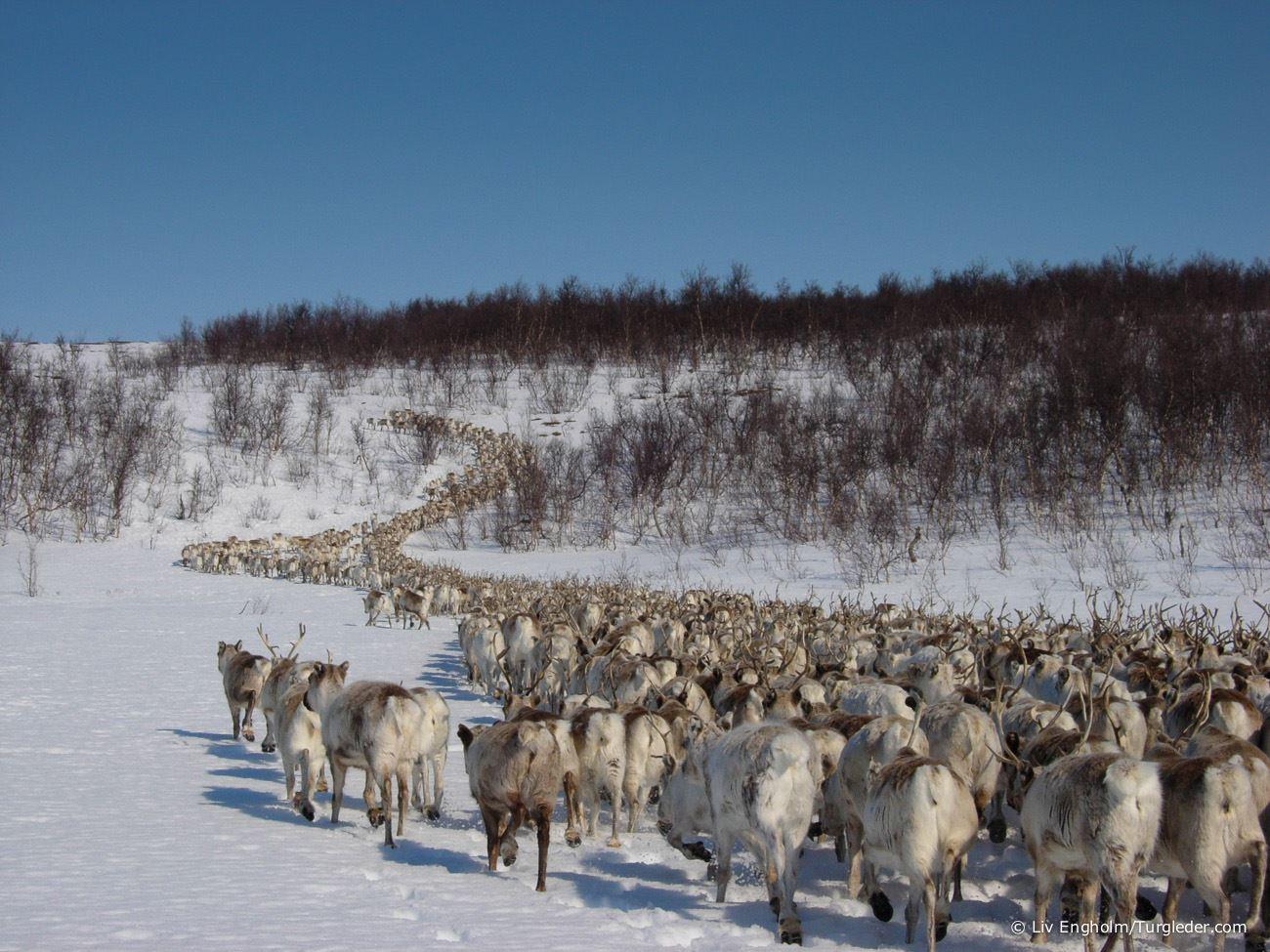 8 days - Sámi reindeer spring migration – Tour of a lifetime
