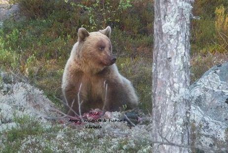 Björnskådning från flytande gömsle