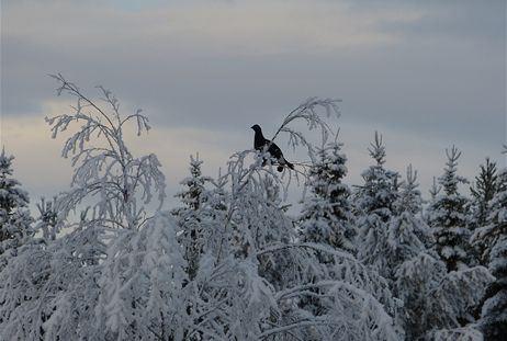 Småviltsjakt Galhammar i Jämtland