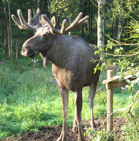 Ingelbo Moosepark, Alpacka & Älg Ekofarm