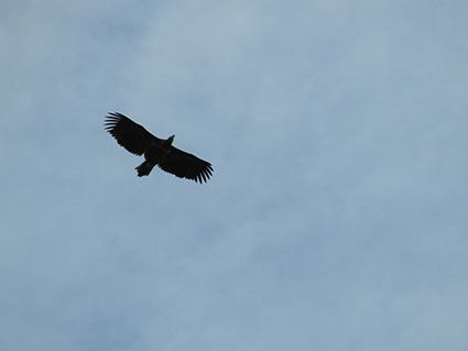 Fågelvandring