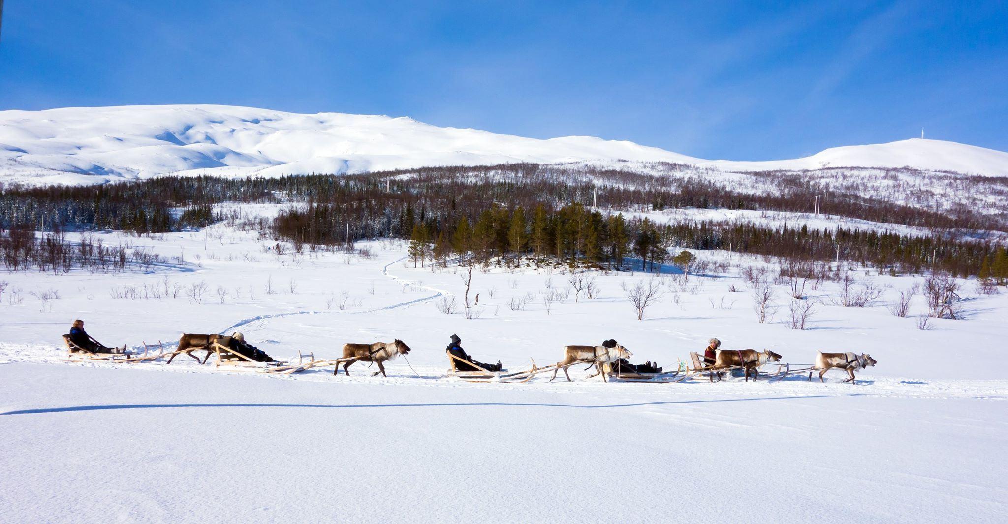 Reinsledekjøring & samisk kultur