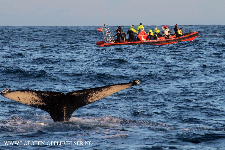 © Lofoten Opplevelser, Orca RIB safari