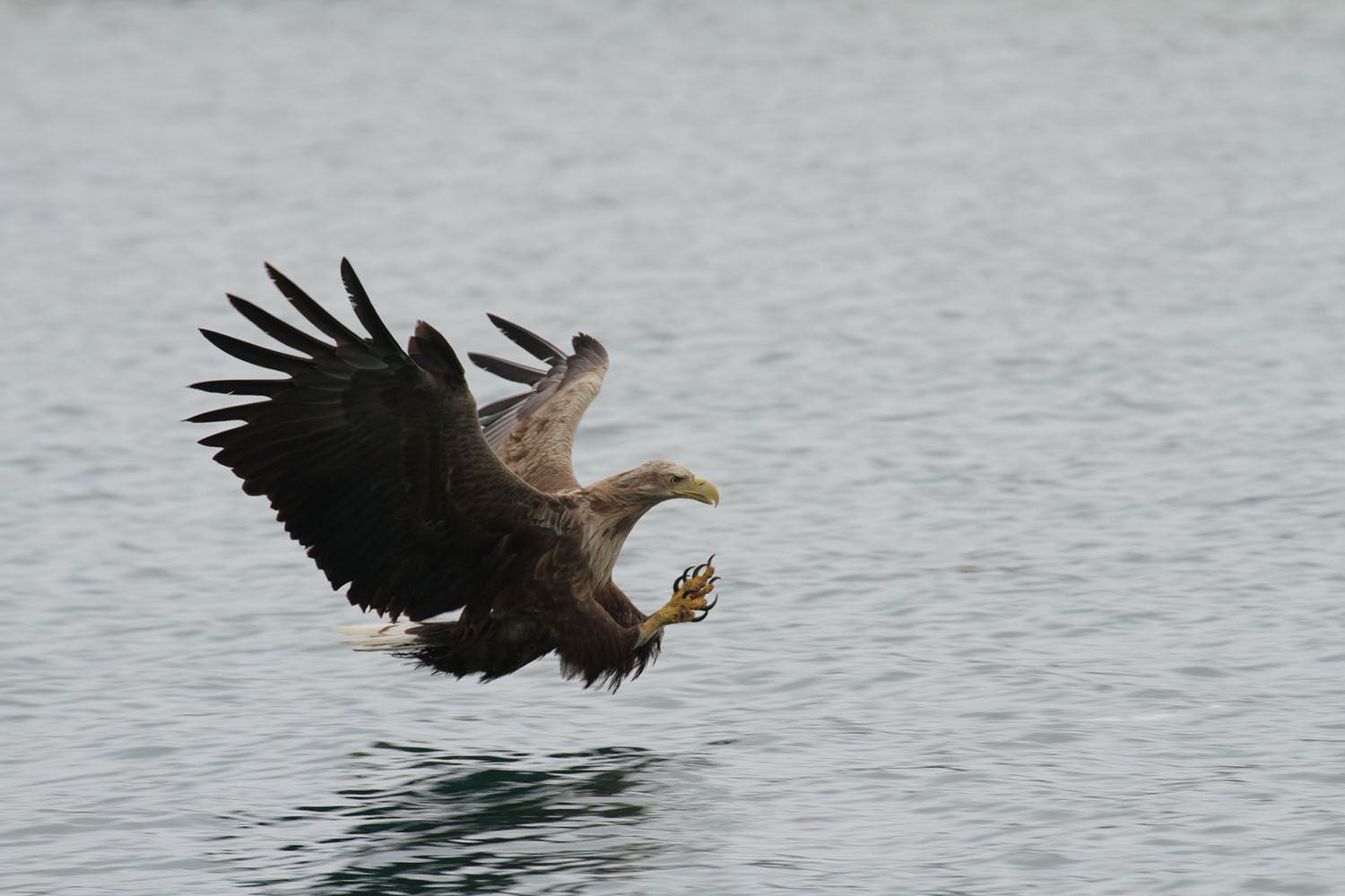 Sea Eagle Safari from Henningsvær