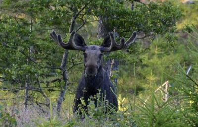 Moose safari in Tiveden – Naturguide Tiveden