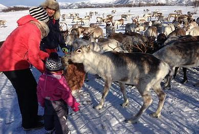 Reindeer Feeding and Sami History