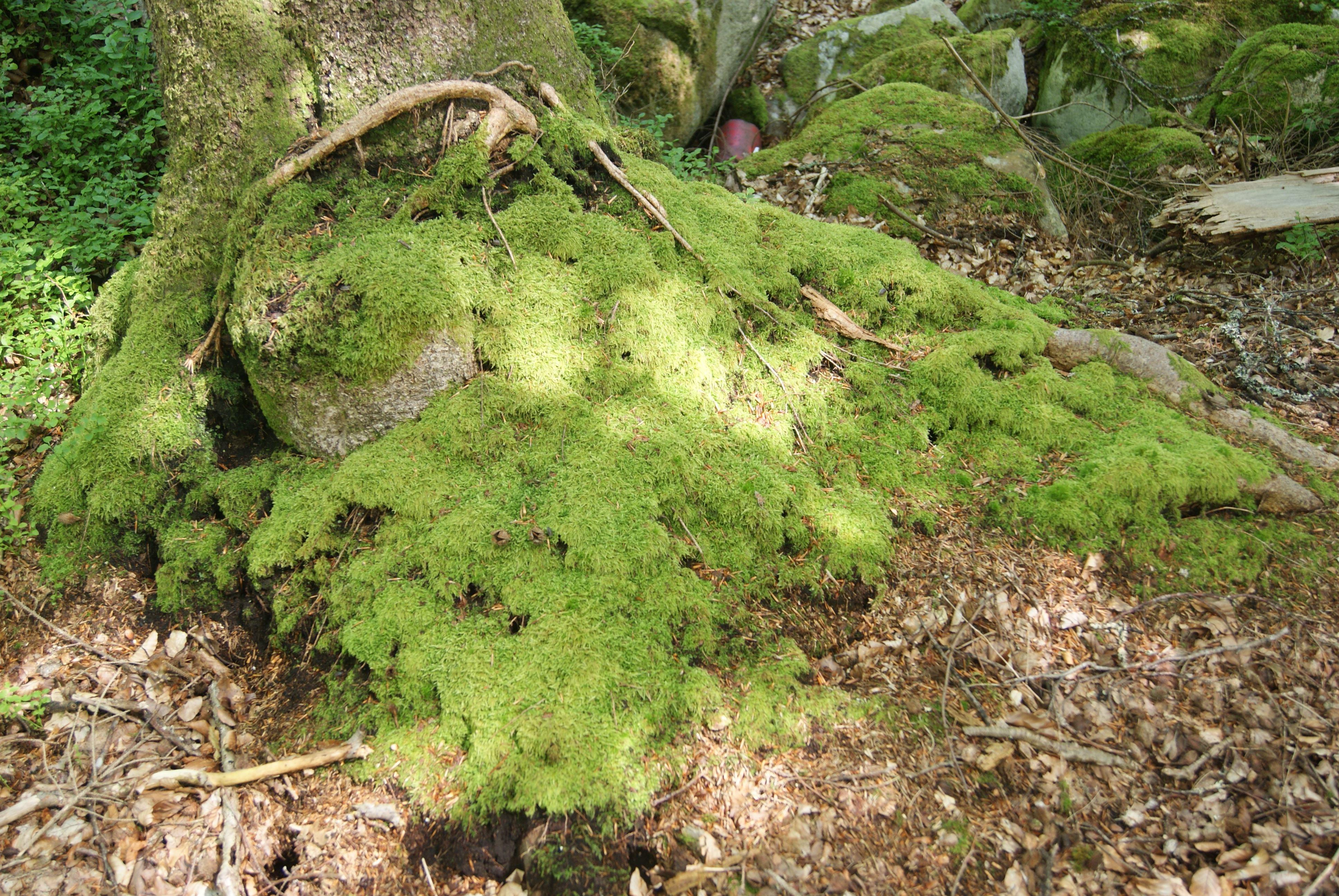 Naturreservat Torne bokskog